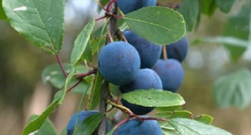 Sloes on Bush